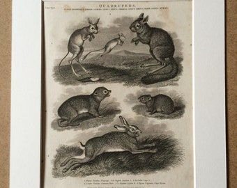 1819 Original Antique Engraving - Alagtaga, Jerboa, Hare, Hyrax - Wildlife - Natural History - Available Matted and Framed