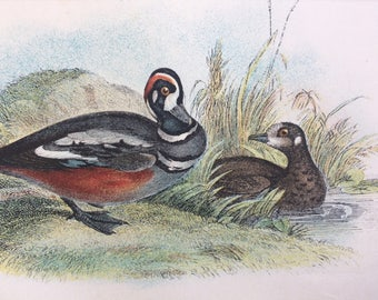 1896 Harlequin Duck Original Antique Chromolithograph - Bird - Ornithology - Mounted and Matted - Decorative Print - Available Framed