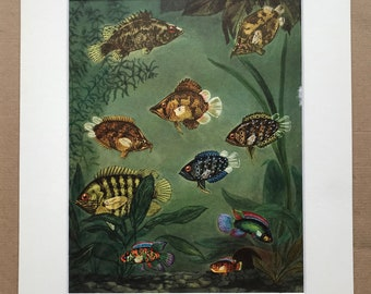 1968 Original Vintage Print - Mounted and Matted - Tropical Fish - Gangetic Leaffish, African Leaffish, Malayan Leaffish - Available Framed