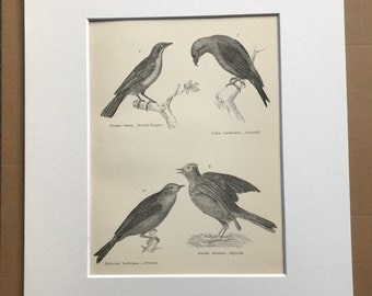 1891 Passeres (Conirostres) Original Antique Print - Bird Art - Tanager, Crossbill, Ortolan, Skylark - Ornithology - Available Framed