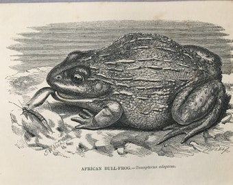 1863 African Bullfrog Original Antique Print - Amphibian - Natural History - Mounted and Matted - Available Framed
