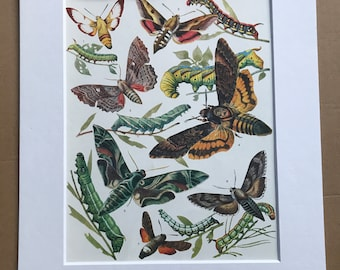 1984 Moths and Caterpillars Original Vintage Print - Lepidoptera - Entomology - Insect Art - Mounted and Matted - Available Framed