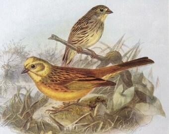 1907 Yellow Bunting Original Antique Lithograph - Ornithology - Bird Art - Birds -  Wall Decor - Home Decor - Wall Art - Wildlife