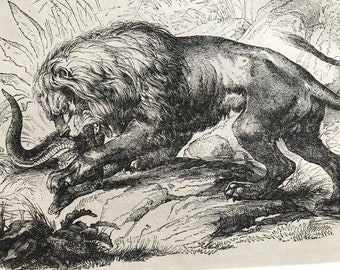 c.1860 Original Antique Print - Lion attacking a Snake - Wildlife - Natural History - Mounted and Matted - Available Framed