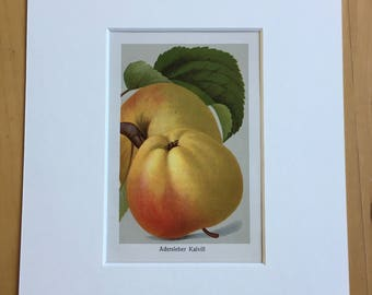 1927 Original Vintage Fruit Lithograph - Apple - Matted and Available Framed -  Botanical Decor - Kitchen Decor - Vintage Botany