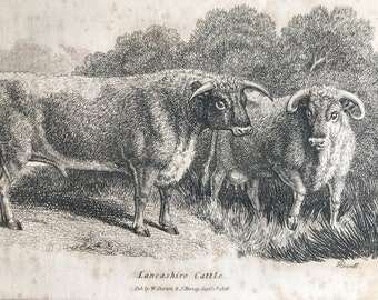 1809 Lancashire Cattle Original Antique Engraving - Natural History - Cow - Cattle - Available Matted and Framed