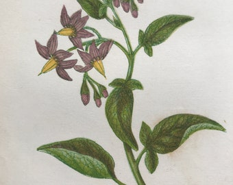 1852 Original Antique Hand-Coloured Anne Pratt Botanical Illustration - Woody Nightshade or Bittersweet - Botany - Garden - Available Framed