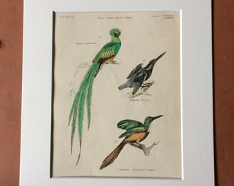 1862 Trogon, Kingfisher, Jacamar Original Antique Hand Coloured Engraving - Available Mounted, Matted and Framed - Ornithology - Bird