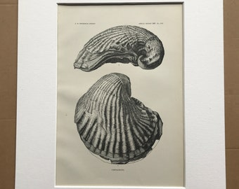 1883 Cretaceous Fossil Ostreidae Original Antique Print - Mounted and Matted - Geology - Available Framed