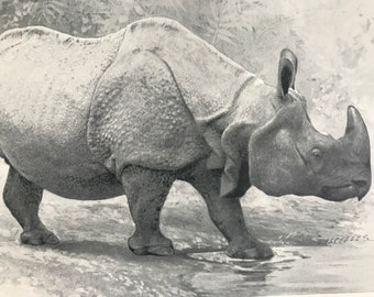 1903 Indian Rhinoceros Original Antique Print - Natural History - Wildlife Decor - Mounted and Matted - Available Framed