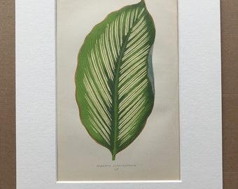 1872 Original Antique Hand Coloured Botanical Illustration - Botany - Beautiful Leaved Plant - Maranta Alba - Available Matted & Framed