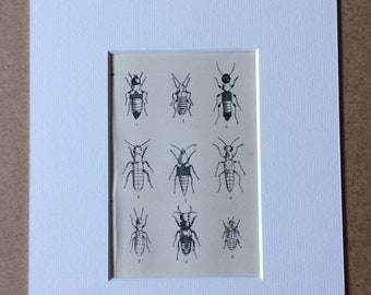 1870 Original Antique Engraving - Insects - Beetle - Coleoptera - Entomology - Mounted and Matted - Available Framed