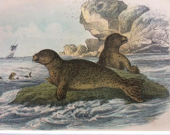 1896 Common Seal Original Antique Chromolithograph - Marine Wildlife - Natural History - Mounted and Matted - Available Framed
