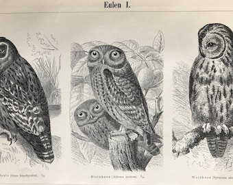 1897 Owls Original Antique Print - Mounted and Matted - Natural History - Ornithology - Available Framed