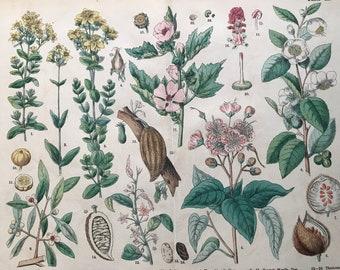 1880 Large Original Antique Botanical Lithograph - Botanical Print - Botany - Plants - Botanical Art - Wall Decor - St Johns Wort - Cacao