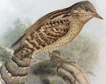 1907 Wryneck Original Antique Lithograph - Ornithology - Bird Art - Birds -  Wall Decor - Home Decor - Wall Art - Wildlife