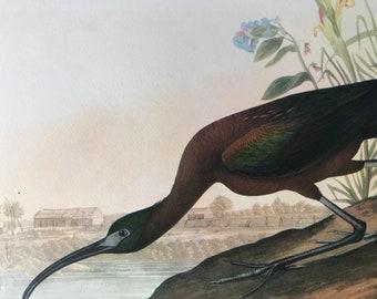 1937 Glossy Ibis Original Vintage Audubon Print - Mounted and Matted - Available Framed - Bird Art - Vintage Decor, Ornithology