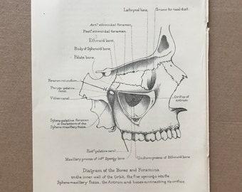 1882 Diagram of the Bones and Foramina Original Antique Print - Skull - Medical Decor - Anatomy - Osteology - Bone