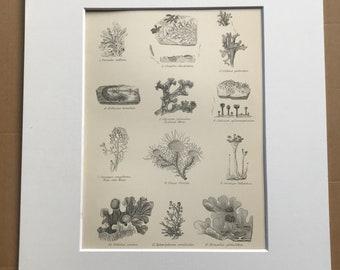 1891 Lichens Original Antique Print - Botanical Decor - Botany - Available Framed