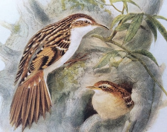 1907 Tree-Creeper Original Antique Lithograph - Ornithology - British Birds - Wildlife Decor - Decorative Print - Available Matted