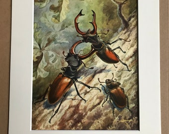 1968 Stag Beetle Original Vintage Print - Entomology - Beetle - Bug - Mounted and Matted - Available Framed