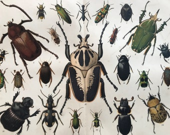 1904 Original Antique Lithograph - Beetles - Entomology - Insect Art - Coleoptera - Victorian Wall Decor - Available Mounted and Matted