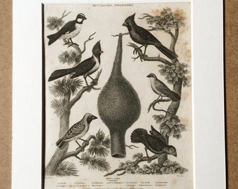 1819 Original Antique Engraving - Ornithology - Grosbeak Varieties and Nest - Vintage Bird Art - Available Matted and Framed