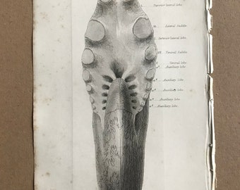 1858 Original Antique Engraving - Ammonites Heterophyllus - Geology - Fossil - Palaeontology