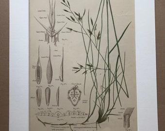 1889 Original Antique Botanical Chromolithograph - Creeping Fescue - Forage Plants - Botanical Print - Agrostology - Wall Decor