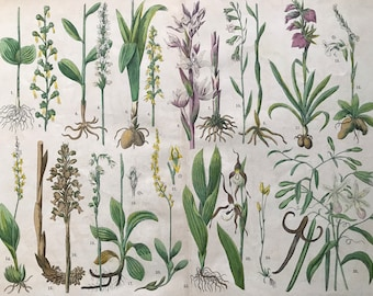 1880 Large Original Antique Botanical Lithograph - Botanical Print - Botany - Plants - Botanical Art - Wall Decor - Flower - Orchid