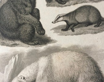 1819 American Bear, Polar Bear, Glutton and Badger Original Antique Engraving - Mounted and Matted - Mammal - Wildlife Decor - Framed