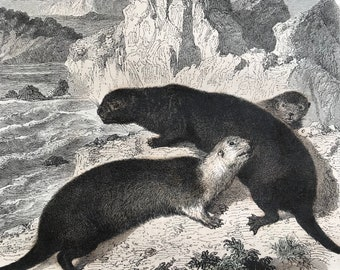 c.1860 Sea Otters of Kamtschatka Original Antique Hand-Coloured Engraving - Wildlife - Animal Art - Mounted and Matted - Available Framed