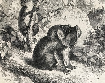 c.1860 Original Antique Print - The Ashy Koala - Wildlife - Natural History - Mounted and Matted - Available Framed
