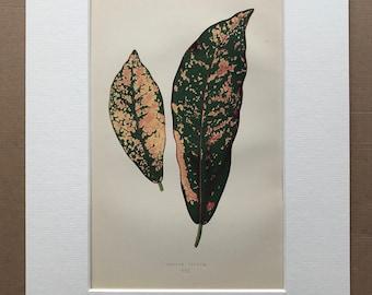1872 Original Antique Hand Coloured Botanical Illustration - Botany - Beautiful Leaved Plant - Croton Pictum - Available Matted & Framed