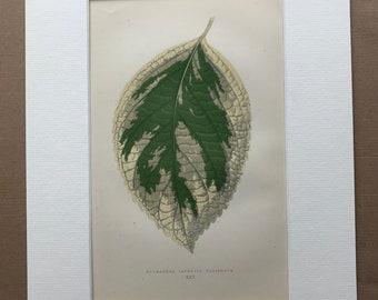 1872 Original Antique Hand Coloured Botanical Illustration - Botany - Beautiful Leaved Plant - Hydrangea - Available Matted & Framed