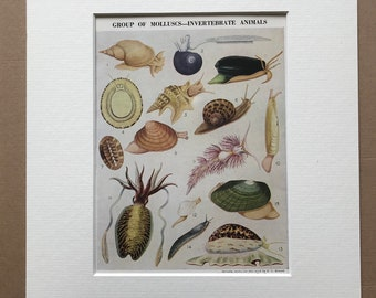 1940s Group of Molluscs - Invertebrate Animals Original Vintage Print - Mounted and Matted - Snail, Mussel, Cuttlefish - Available Framed