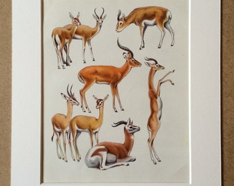 1968 Original Vintage Print - Mounted and Matted - Gazelle Species - Available Framed