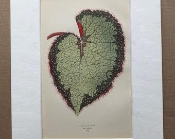 1872 Original Antique Hand Coloured Botanical Illustration - Botany - Beautiful Leaved Plant - Begonia Rex - Available Matted & Framed