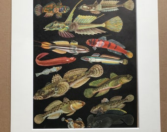 1968 Original Vintage Print - Mounted and Matted - Tropical Fish - Mandarinfish, Bleeker, Goby  - Available Framed