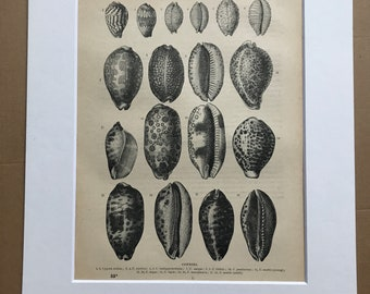 1896 Cowries Original Antique Print - Sea Shell Illustration - Natural History - Mounted and Matted - Available Framed