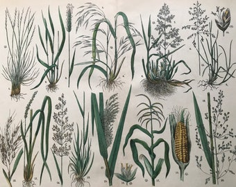 1880 Large Original Antique Botanical Lithograph - Botanical Print - Botany - Plants - Botanical Art - Sweetcorn - Maize - Grass