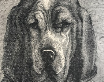 1896 Head of Bloodhound Original Antique Print - Dog - Canine Decor - Natural History - Mounted and Matted - Available Framed