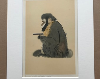 1937 Female Brown Capuchin Original Vintage Print - Mounted and Matted - Available Framed - Monkey - Primate - Natural History