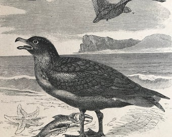 1896 Skua Original Antique Print - Natural History - Bird Art - Ornithology - Mounted and Matted - Available Framed