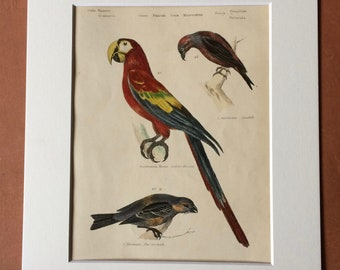 1862 Crossbill - Scarlet Macaw - Pine Grosbeak Original Antique Hand Coloured Engraving - Available Mounted, Matted and Framed