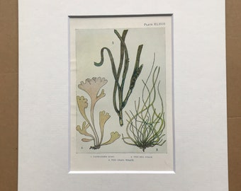 1920 Seaweed Original Antique Print - Mounted and Matted - Available Framed - Marine Decor - Ocean Decor