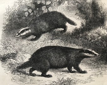 c.1860 Original Antique Print - Common Badgers - Wildlife - Natural History - Mounted and Matted - Available Framed