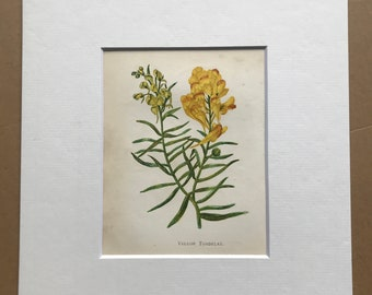 1852 Original Antique Hand-Coloured Anne Pratt Botanical Illustration - Yellow Toadflax - Botany - Garden - Available Framed