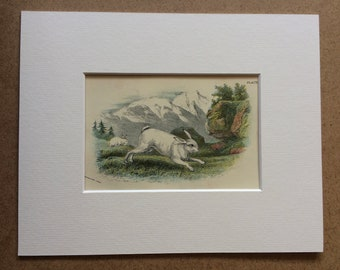 1896 Mountain Hare Original Antique Chromolithograph - Wildlife - Natural History - Mounted and Matted - Available Framed