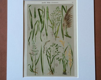 1911 Original Antique Botanical Lithograph - Mounted and Matted - Grass - Sedge - Plant - Botany - Gardener Gift - Available Framed